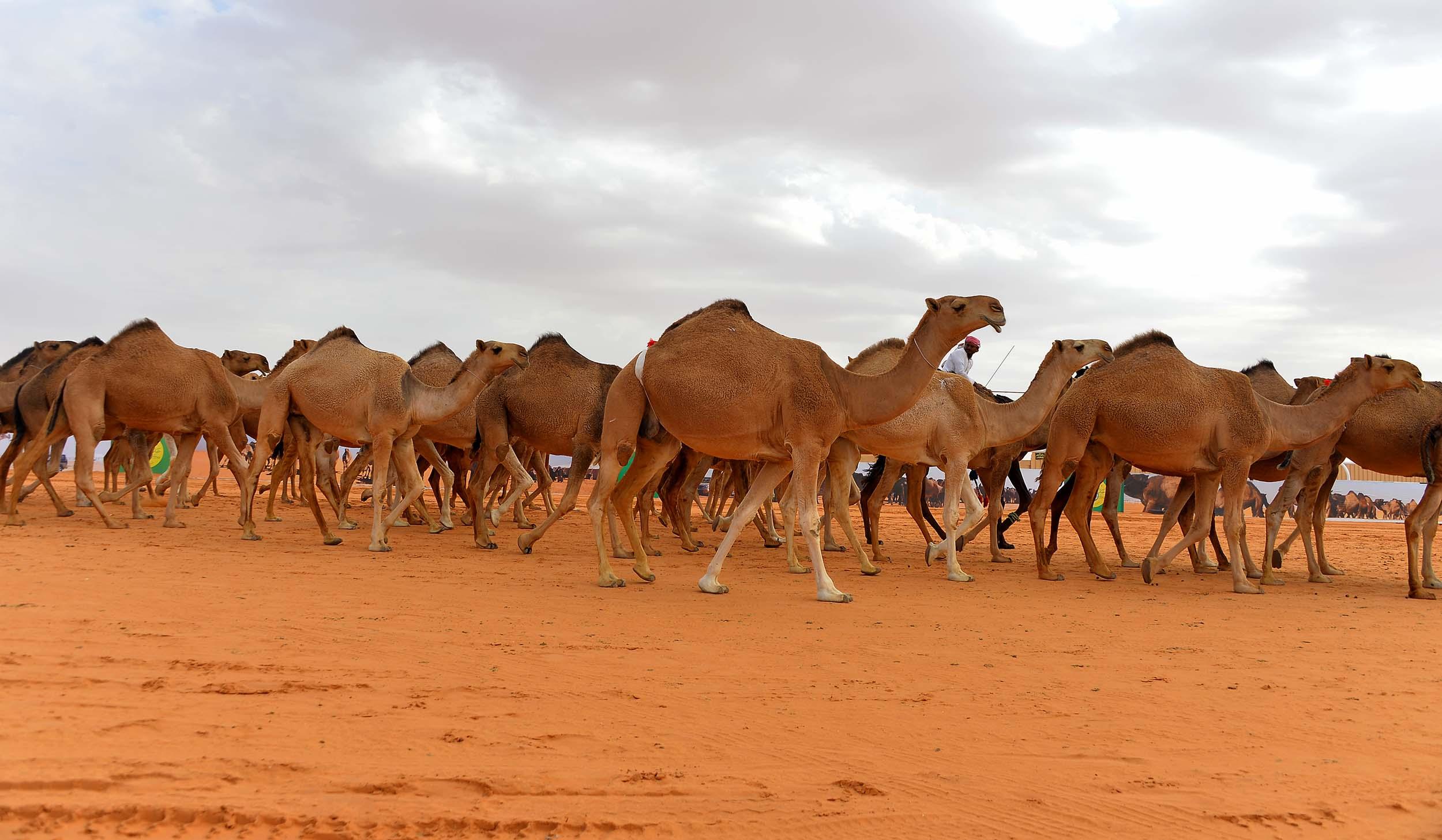 إنتاج مسحوق حليب الأطفال من الإبل في الإمارات